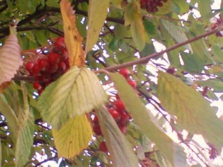 autumn leaves 0034